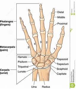 Hand Bones Stock Images
