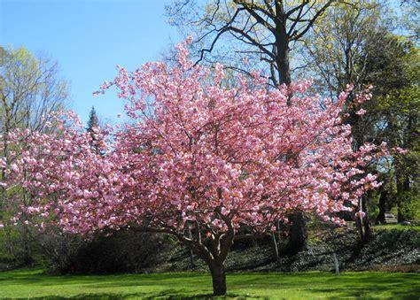 magnoloa tree pink magnolia tree by westernsaddle photo weather underground