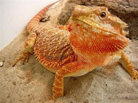 Bearded Dragon As Pets Diet