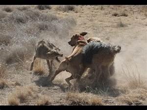 Coyote vs Labrador // PITBULL VS COYOTE // Wolf vs Coyote ...