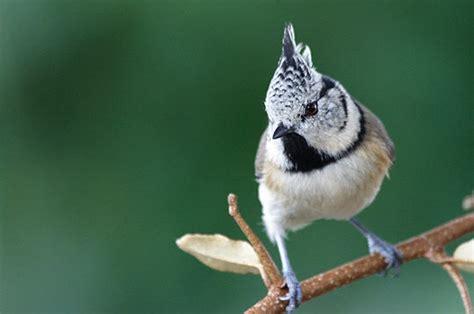 cuisine plus recrutement mésange huppée 14 photos d 39 oiseaux de par david meïer