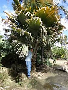 Field Grown The ultimate palm!, Specimen, 5-35ft HT