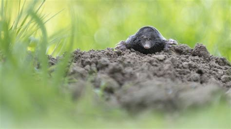 was hilft gegen maulwürfe was tun gegen maulwurf mittel gegen maulwrfe excellent