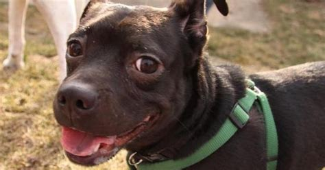 12 Pit Bull Mixes Who Are Just As Ridiculously Cute As