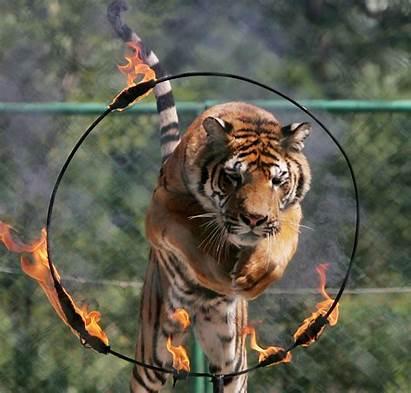 Animals Fire Circus Tiger Through Madrid Wild