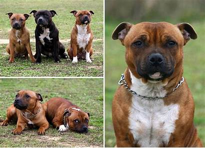Bull Staffordshire Terrier Terriers Breed Temperament Strong
