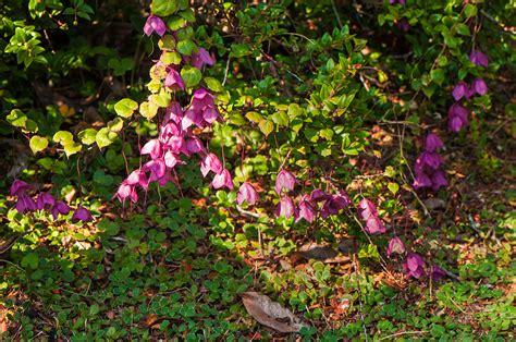 purple flowered vine gardens dawsonphotos
