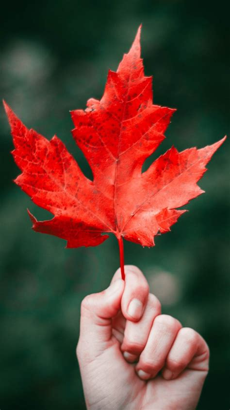maple leaf autumn hand wallpaper