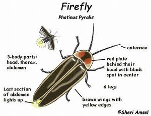 Easy Diagram Of Firefly