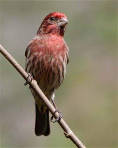 new hshire purple finch pictures state birds