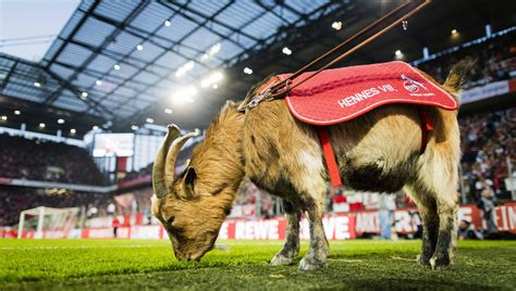 Maybe you would like to learn more about one of these? 1. FC Köln heeft een nieuwe geit: maar kan hij het stadion ...