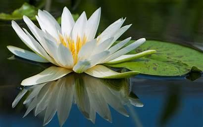 Water Lotus Flowers Lily Lilies Background Wallpapersafari