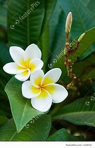 Image Of Frangipani Tropical Flowers