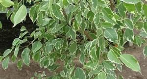 Ficus Benjamini Vermehren : ficus benjamina feigen ~ Lizthompson.info Haus und Dekorationen