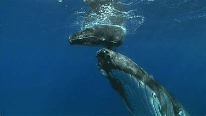Humpback Whale Whales Moms Close Animated Him