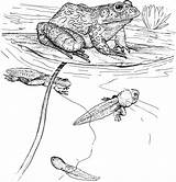 Coloring Pages Frog Tadpoles Tadpole Printable Bullfrog Cliparts Ipad Animals Wildlife Clipart Frogs Amphibian Library Drawing Pond Version Cute Supercoloring sketch template