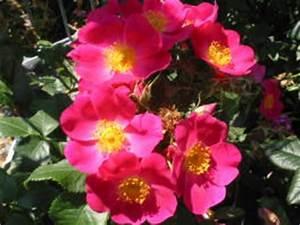 Alte Rosensorten Stark Duftend : rosensorten duftrosen im garten ki kichunov n i kiese ~ Michelbontemps.com Haus und Dekorationen