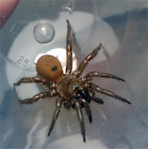Garden Spider Toxicity by Common Spiders Poisonous Or Northwest