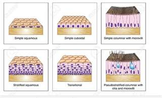 Epithelial Tissue Types