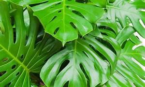 Pflanzen Für Raucher : lunge z rich pflanzen f r bessere raumluft ~ Markanthonyermac.com Haus und Dekorationen