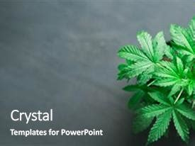 top cannabis marijuana leaves powerpoint templates
