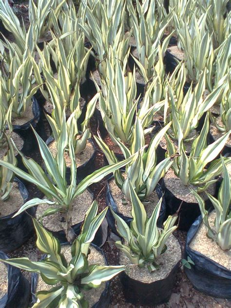 harga tanaman nanas hias tanamanbaru
