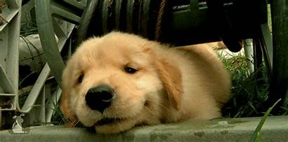 Dog Golden Puppy Retriever Animal Pet Giphy