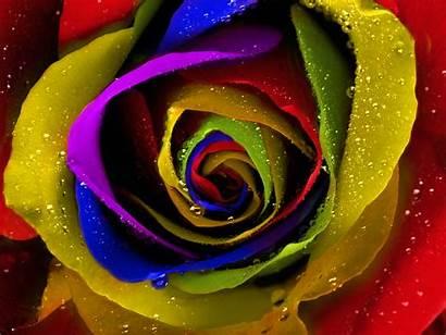 Rainbow Roses Wallpapers Flower Desktop Rose Colorful