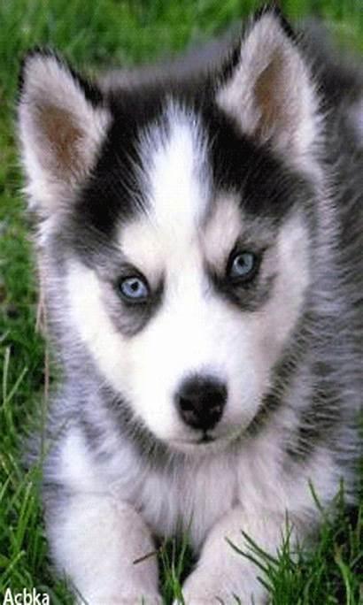 Anjing Animasi Puppy Husky Gambar Phoneky Dog