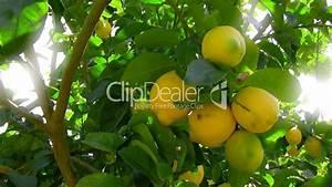 Zitronenbaum Gelbe Blätter : gelbe zitronen an einem baum lizenzfreie stock videos und ~ Lizthompson.info Haus und Dekorationen