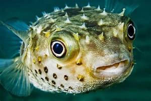Ph Puffer Berechnen : 2 kids die 1 ill after eating puffer fish in camarines ~ Themetempest.com Abrechnung