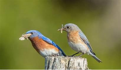 Bluebird Eastern Bluebirds Female Male Wallpapers Young