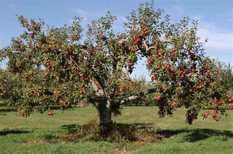 Old Apple Tree Marks Where A Turnofthecentury Family