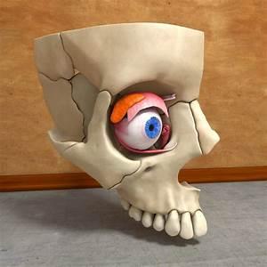 Human Eye Skull C4d