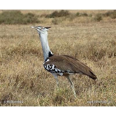 Kori Bustard Photos Images Nature Wildlife