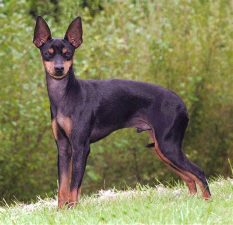 english toy terrier black tan breed guide learn