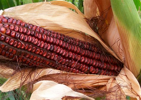 bloody butcher dent corn   southern exposure seed