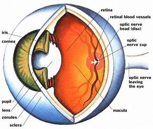 Free Blank Eye Diagram  Download Free Clip Art  Free Clip Art On Clipart Library