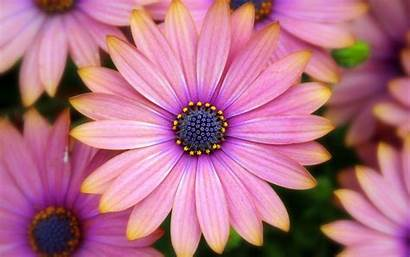 Flower Background Pink Backgrounds Wallpapers Daisies Gerbera