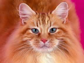 somali cats pet advice ideas guides 187 archive 187 somali cat