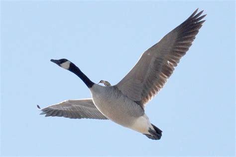 hummingbird riding goose for a full explaination go to