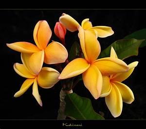 Hawaiian Flowers - The Plumeria Kaleinani - a photo on ...