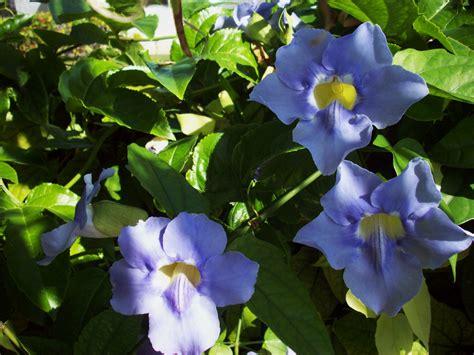 flower vines i like plants blue sky vine thunbergia grandiflora