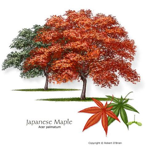 names of maple trees 68 best images about contest on pinterest bermudas texas and plants