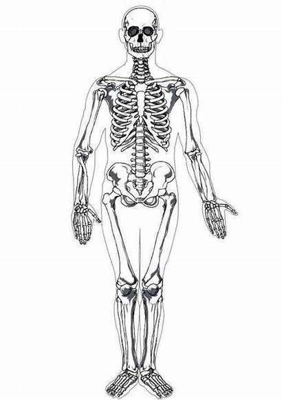 Skeleton Human Coloring