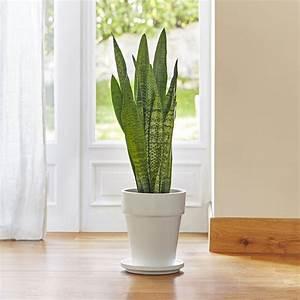Plantes Grasses Intérieur : sansevieria zeylanica le pot de 18 cm plantes et fleurs d 39 int rieur nos produits botanic ~ Melissatoandfro.com Idées de Décoration
