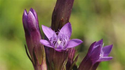 gentian fiori di bach il fiore di bach gentian o genziana