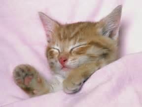 sleeping cat sleeping cat wallpaper on pc beautiful desktop
