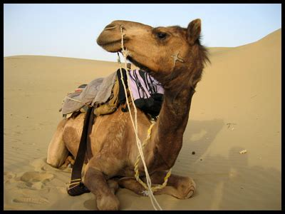 camel pictures  images
