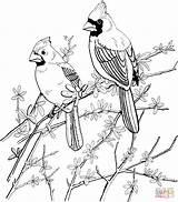 Coloring Cardinal Bird Printable Pages sketch template